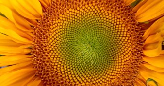 Focus on middle of a sunflower