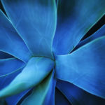 Close up of a blue aloe vera flower