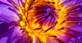 Close-up of a purple water lilly with yellow stamen