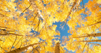Looking up at the sky through aspen trees with yellow leaves