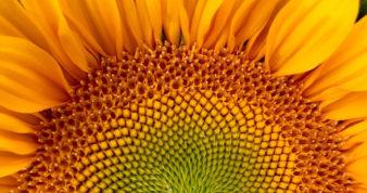 ull Frame Shot Of Sunflower