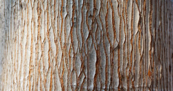 Bark of Pine tree texture brown